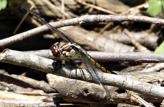 unknown dragonfly - Libellula vibrans