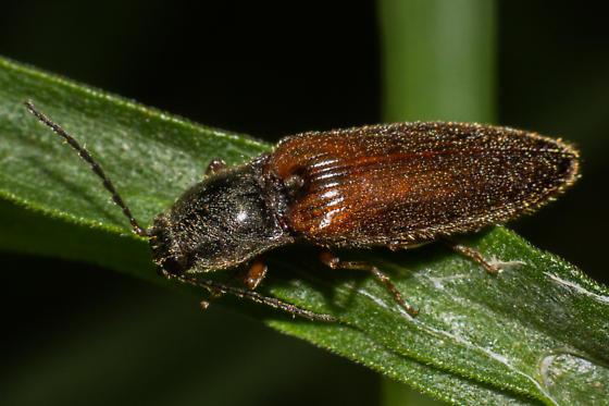 Oestodes tenuicollis? - Hemicrepidius decoloratus