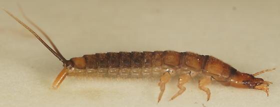 Unknown Beetle larva - Chlaenius