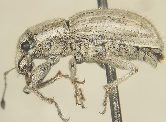 Phacepholis planitiatus (Buchanan) - Phacepholis planitiatus