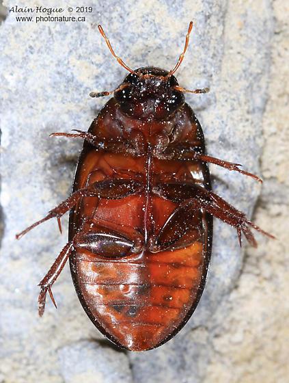 Dytiscidae ?