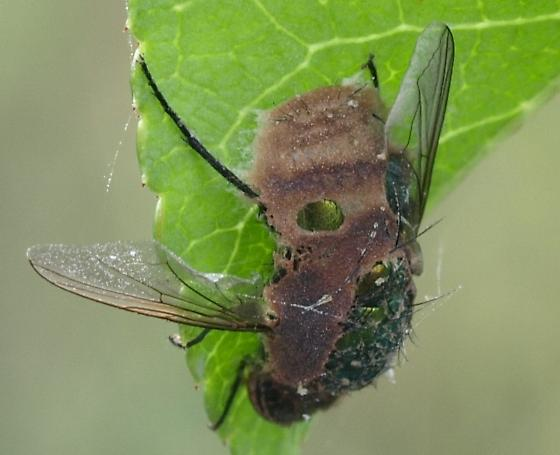 Deceased bottlefly