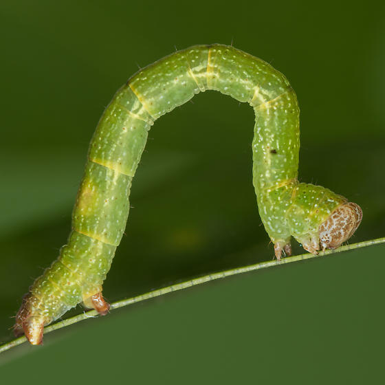 Cyclophora packardi - male