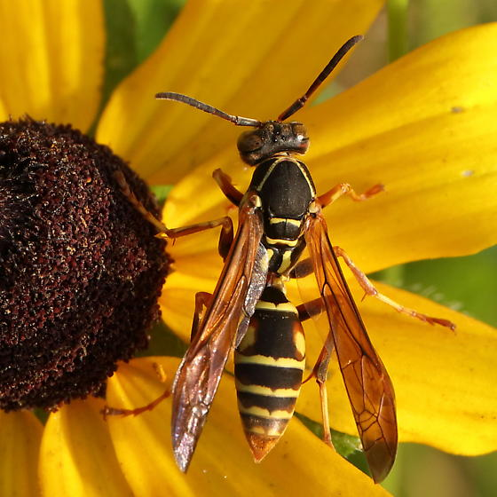 Nicely marked wasp - Polistes