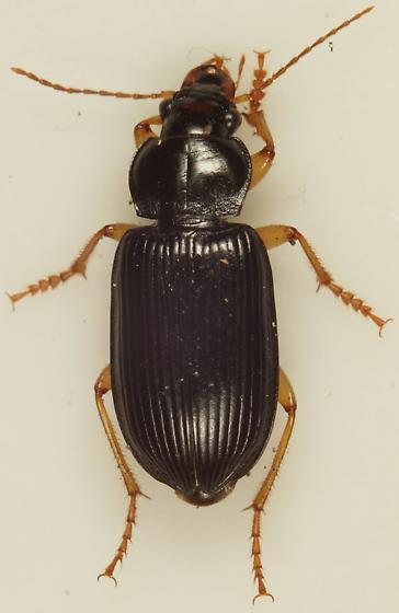 Unknown Carabid - Anisodactylus verticalis - male