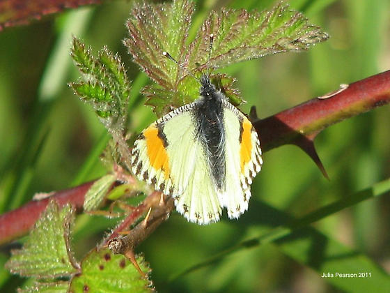 Orange and White Butterfly - Anthocharis julia - female