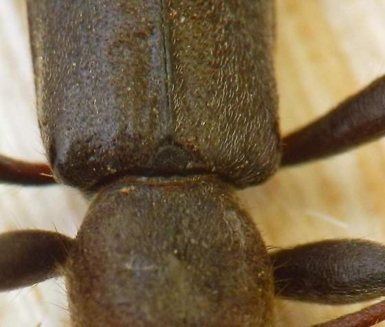 Longhorned beetle - Haplidus testaceus