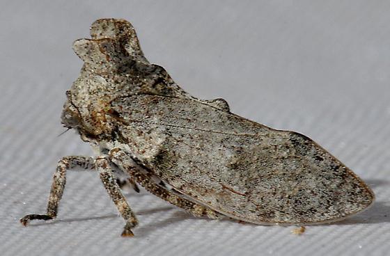 Oak Tree Hopper - Microcentrus perditus