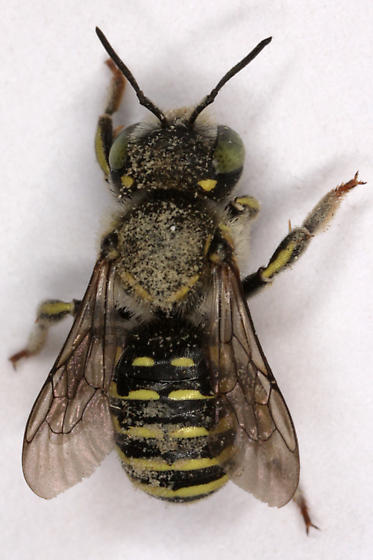 Unknown Bee - Anthidium