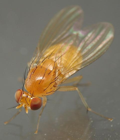 Yellow/Orange Fly - Neogriphoneura sordida