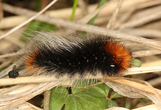 Ranchman's Tiger Moth Larva - Arctia virginalis