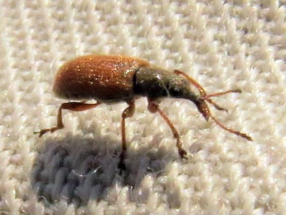 unknown snout beetle - Cimberis