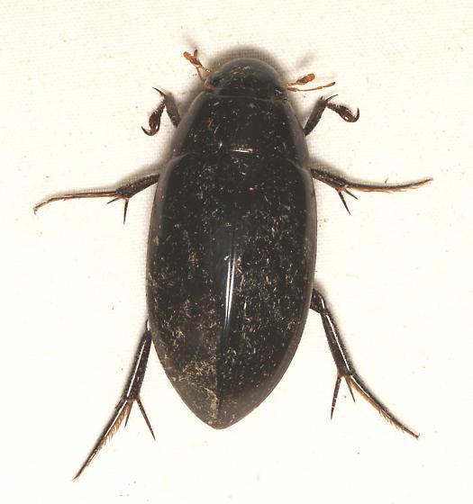 Hydrophilidae, Giant Black Water Beetle, dorsal - Hydrophilus triangularis