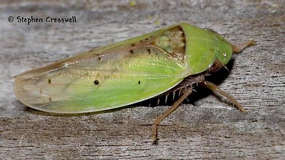 Genus Ponana, Perhaps? - Ponana pectoralis