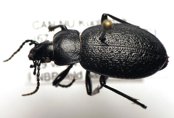 Carabus chamissonis