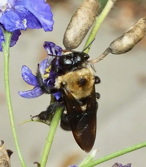 Large Bumble Bee - Xylocopa virginica - male