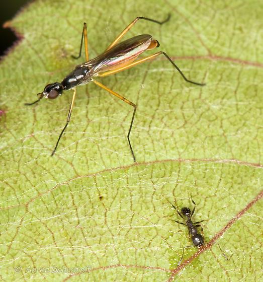 AZ BugGuide Gathering Micropeza - Micropeza abnormis