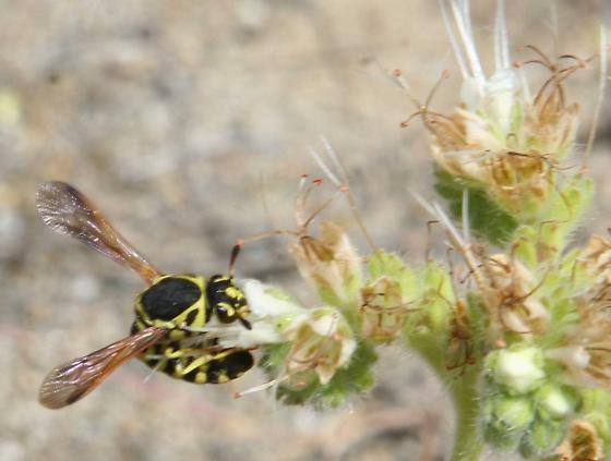 Pollen Wasp #2 - Pseudomasaris edwardsii - female