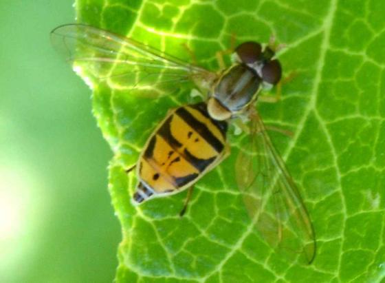 Mini hoverfly? - Toxomerus marginatus