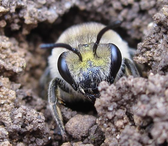 Ground-Burrowing Bee - Colletes inaequalis