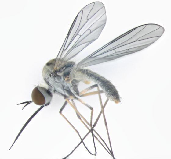 Bombyiidae, lateral - Geron