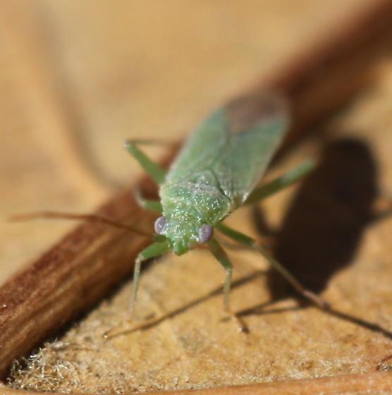 bug - Labopidea allii