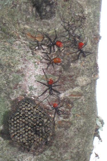 ants, nest and juveniles on Rainier cherry tree - Arilus cristatus