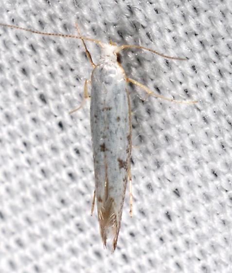 Argyresthia - Argyresthia subreticulata