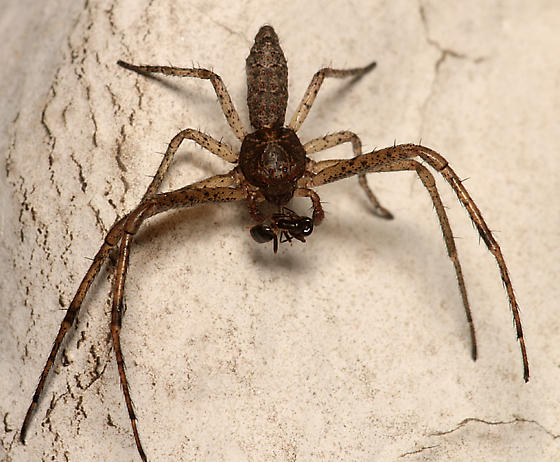 Crab Spider - Tmarus - male