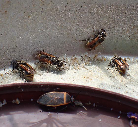 Brachygastra mellifica (with Largus succinctus, on bee fondant) - Brachygastra mellifica