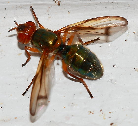 Signal Fly - Senopterina caerulescens
