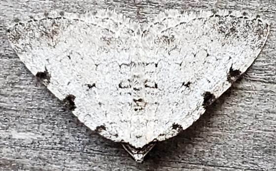 White-Black Peppered Moth - Perizoma costiguttata