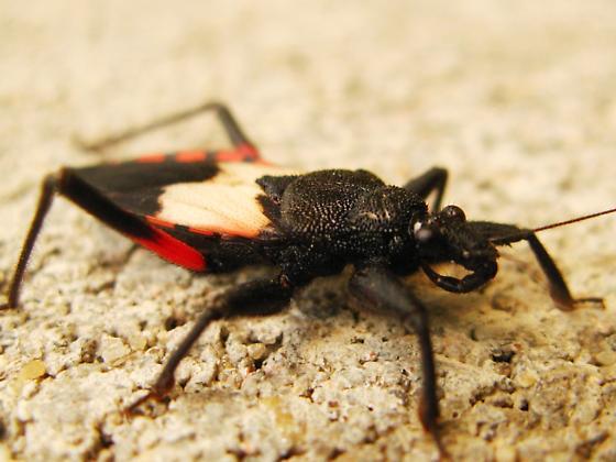 Assassin - Microtomus purcis - Microtomus purcis