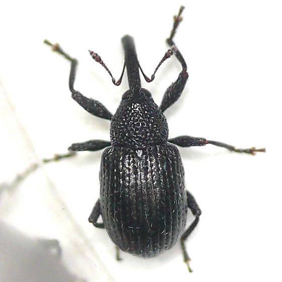 Weevil 10.06.17 - Anthonomus nigrinus
