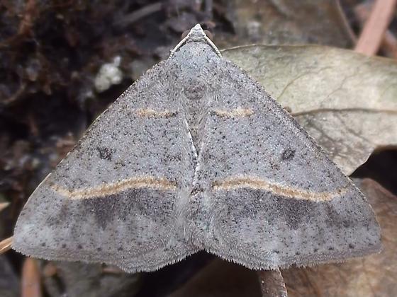 Geometridae: Digrammia mellistrigata - Digrammia neptaria