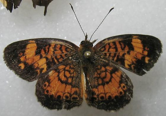 Phyciodes tharos - male
