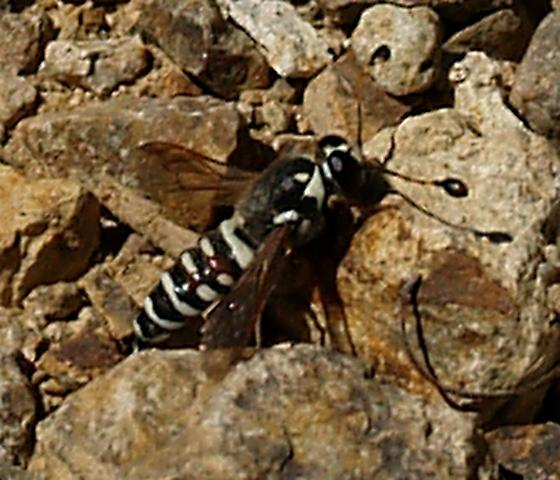 Pollen Wasp Pseudomasaris maculifrons? - Pseudomasaris maculifrons - male