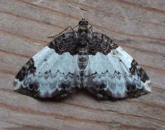 Geometridae: Mesoleuca ruficillata - Mesoleuca ruficillata