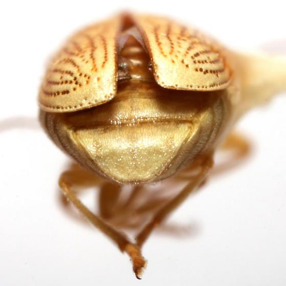 Pachybrachis arizonensis Bowditch - Pachybrachis arizonensis