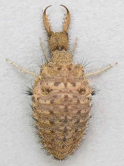 Antlion larva (Doodlebug) - Myrmeleon