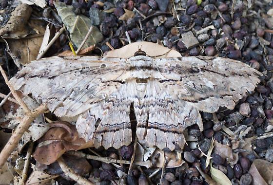 Owl Moth - Thysania zenobia - 8647 - Thysania zenobia