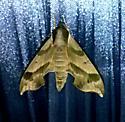 Moth - Darapsa myron