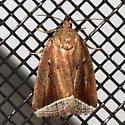 moth - Capis curvata
