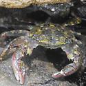 shore crab? - Pachygrapsus crassipes