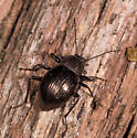 Beetle for ID - Meracantha contracta