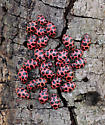 Hivernating ladybugs - Coleomegilla maculata