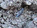 Blue/green Syrfid Fly  ?? - Lasioglossum - female