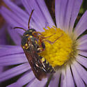 Apoid Wasps (Apoidea)- ID please - Nomada fervida