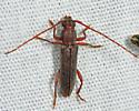Anelaphus sp.? - Micranoplium unicolor