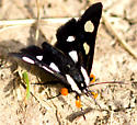Unknown Moth - Alypia octomaculata